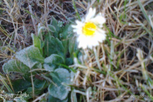 Галиюша,это тебе цветочек!(фото сделала вчера утром)Этот кроха поразил меня своей стойкостью-ведь кругом иней!