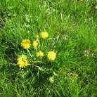 Одуванчики нужно собирать в полдень, при ярком свете солнца, чтобы головки цветков были максимально раскрыты, в экологически чистом месте.