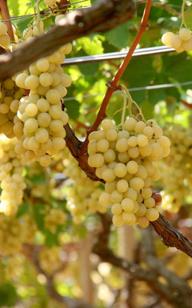 Праздник сбора винограда в Швейцарии