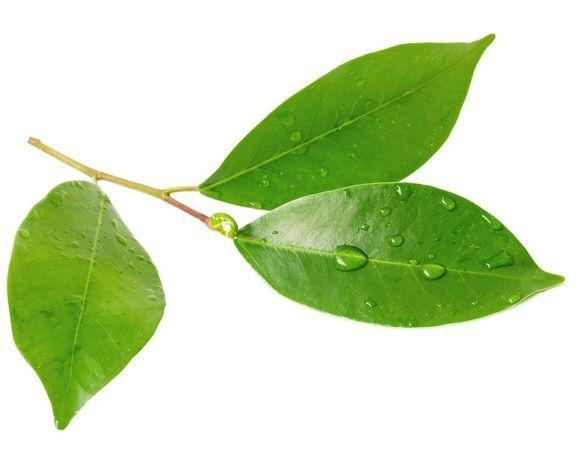 Лайм листья