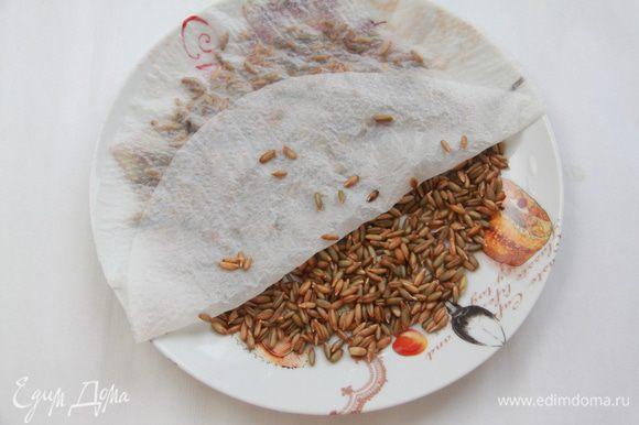 Зёрна ржи выложить тонким слоем на блюдце, налить воды, чтобы только слегка покрыла рожь, прикрыть салфеткой (из ткани или бумажного полотенца). Оставить на сутки для прорастания.