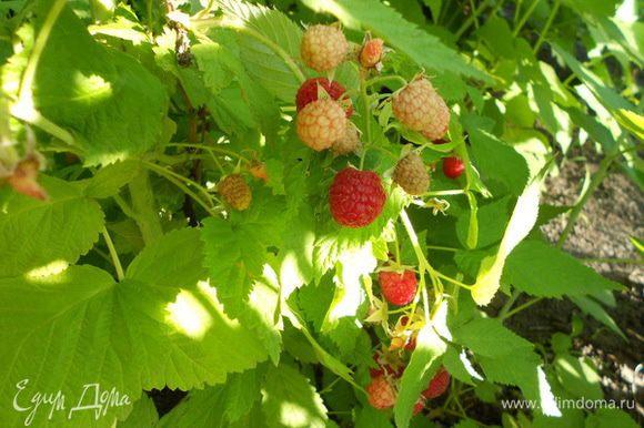 Собираю в саду ягоды - малину,
