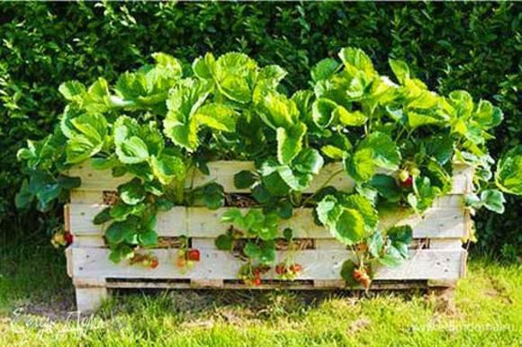 Теперь сходим на грядку и соберем урожай свежей ароматной клубники.