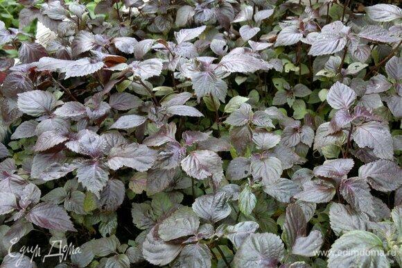 У меня в цветнике растет перилла. Она немного похожа на фиолетовый базилик, но имеет другой вкус, листья у нее немного другой формы. Когда она всходит, листья у нее зеленые, потом по мере роста они постепенно становятся фиолетовыми. Но вкуснее самые молодые растения, а потом листья начинают грубеть, и тогда периллу можно использовать для горячих блюд, консервирования овощей, сушки.